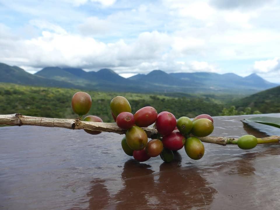 Organic Coffee Beans On Branch