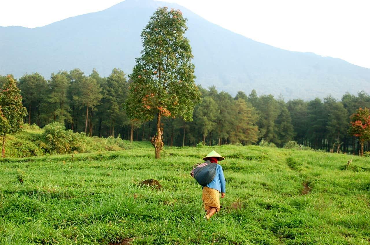 Coffee Bean Field Worker
